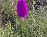 Pyramidal Orchid North Yorkshire 2013 © Richard Baines