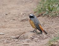 Redstart at Filey © Mark James Pearson