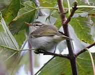 Eastern Crowned Warbler at Brotton © Dave Bywater