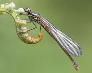 Large Red Damselfly © Dan Lombard