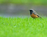 Eastern Black Redstart © Steve Race