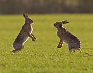 Brown Hares boxing © Steve Race