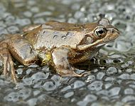 Common Frog and frogspawn © Dan Lombard