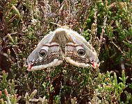 Emperor Moth © Richard Baines