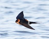 Red-rumped Swallow © Craig Thomas