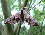 Eyed Hawk Moth © Richard Baines