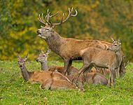 Red Deer - Steve Race ©