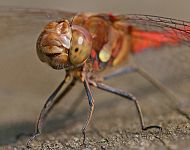 Common Darter © Dan Lombard