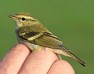 Yellow-browed Warbler at Filey © Lucy Murgatroyd