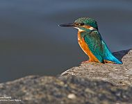 Common Kingfisher © Steve Race