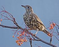 Mistle Thrush © Steve Race