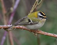 Firecrest at Spurn © Richard Wilson