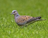 Turtle Dove © Steve Race