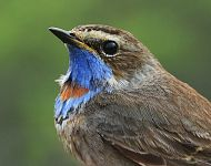 Bluethroat Filey 2016 © Dan Lombard