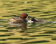 Little Grebe © Richard Baines