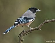 Black-headed Jay © Steve Race