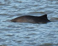 Harbour Porpoise at Scarborough © Stuart Baines