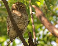Jungle Owlet at Jungle Jim's Retreat © Richard Baines