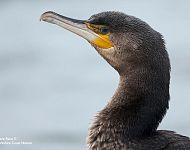 Great Cormorant North Yorkshire 2017 © Steve Race