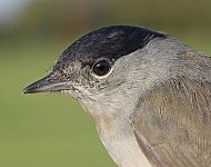 Blackcap (male) © Dan Lombard