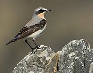 Northern Whetear (male) © Steve Race