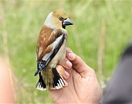 Hawfinch Spurn © Jonnie Fisk