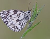 Marbled White © Dan Lombard