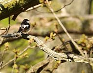 Male Pied Flycatcher Hawnby North York Moors NP © Richard Baines