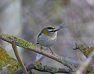 Firecrest at Spurn © John Hewitt