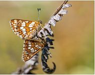 Duke of Burgundy at Hawnby © Lindsey Bowes