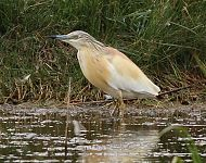 Squacco Heron at Kilnsea © Richard Willison