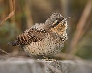 Wryneck at Bempton © Andy Hood