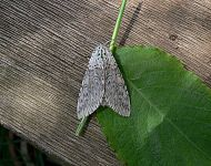 Puss Moth adult © Richard Baines