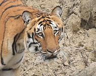 Bengal Tiger Corbett NP © Tony Knowles