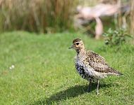 Female European Golden Plover © Richard Baines