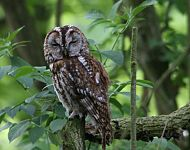 Tawny Owl at Top Hill Low © Maurice Dowson