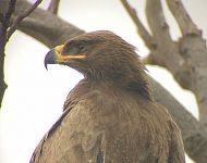 Steppe Eagle India Nov 2017 © Richard Baines