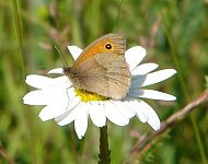 Meadow Brown © Richard Baines
