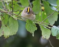 Goldcrest © Richard Baines Flamborough October 2005