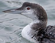 Great Northern Diver Scarborough © Steve Race