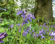 Wild Flower Discovery Walks - Ancient Woodlands