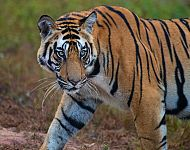 2022 Tigers of India Photography Tour