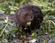 Water Vole - Steve Race ©