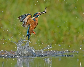2020 Diving Kingfisher Photography Workshop