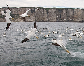 2021 Diving Gannet Photography Spectacular