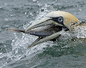 2021 Diving Gannet Photography Experience