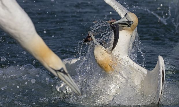 Diving Gannet Photography Experiences