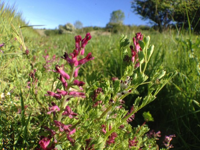 Common Fumitory © Richard Baines
