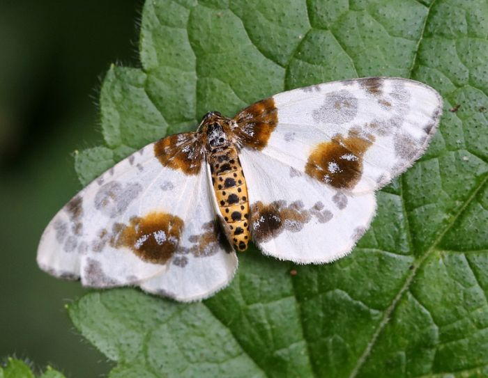 Clouded Magpie © Dan Lombard