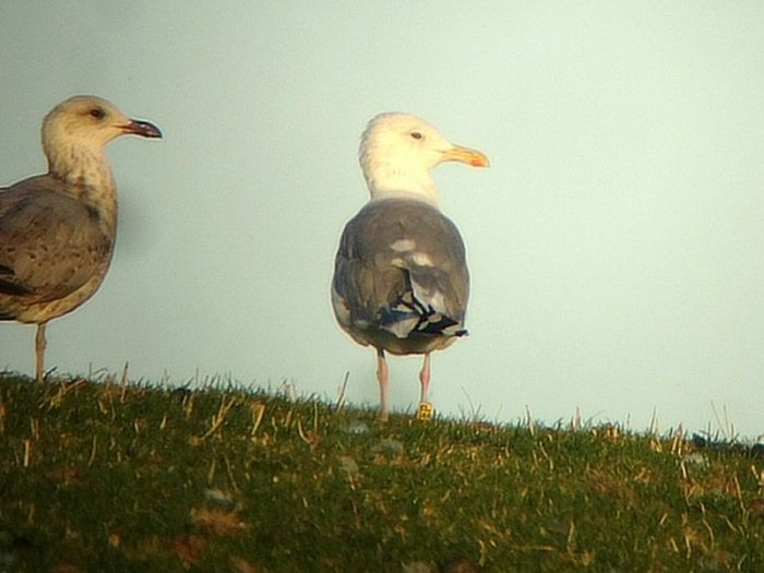 Caspian Gull Flamborough © Andy Hood